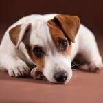 Puppy sad. Dog illness