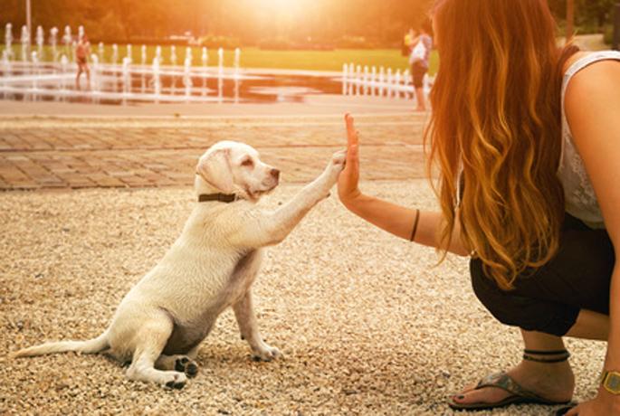 Labrador Welpe und junge Frau geben sich ein High Five