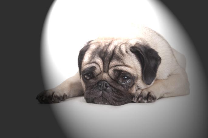 Pourquoi votre chien pleure ? - Vetalia