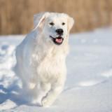 golden retriever dog running in the snow