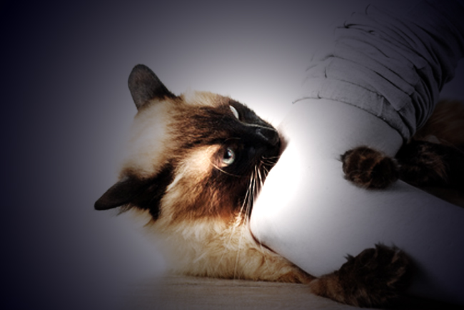 Balinese cat on glass surface of a table
