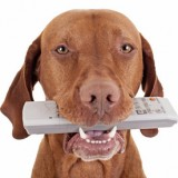 pure breed pointer dog holding remote control in mouth on white background