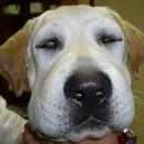oedème de Quincke chien