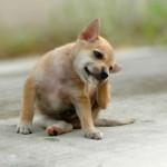 vetalia-chien-qui-se-gratte-aoutats