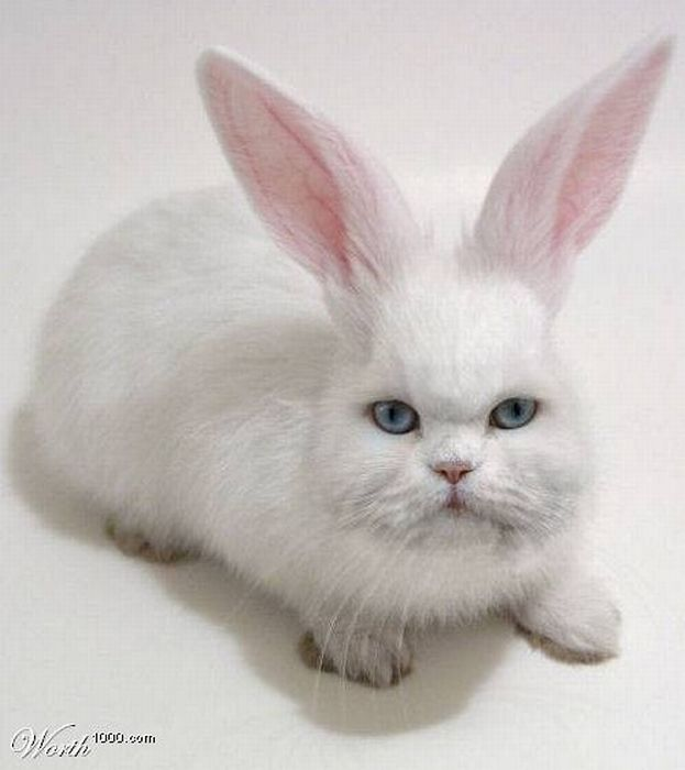 lapin chat