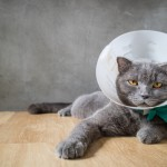 sick cat with funnel cone collar prevent him scratch his ear