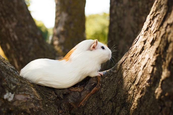 cochon d'inde dans l'arbre
