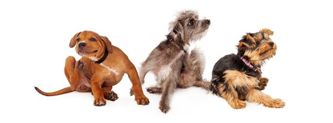 chiens qui se grattent