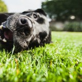 Portrait of a labrador dog lying on the grass