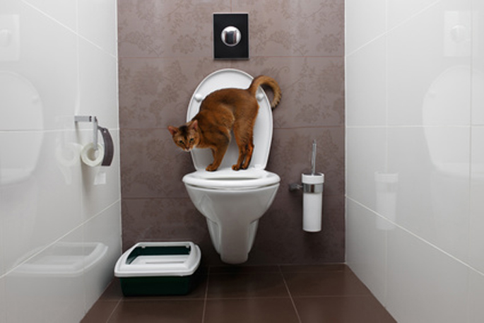 Abyssinian Cat Sits on toilet Bowl and Curious Looking