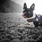 Boston Terrier at the Beach