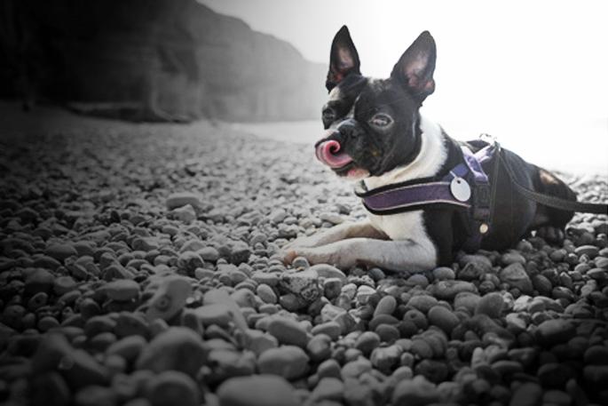 chien sur une plage de galets