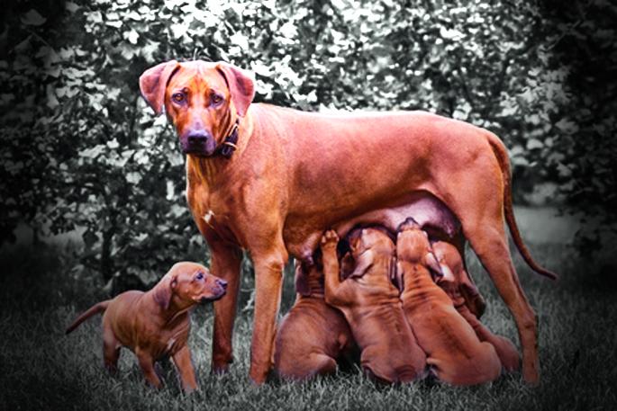 allaitement chienne