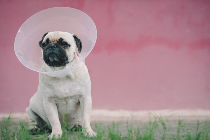 stérilisation de chien