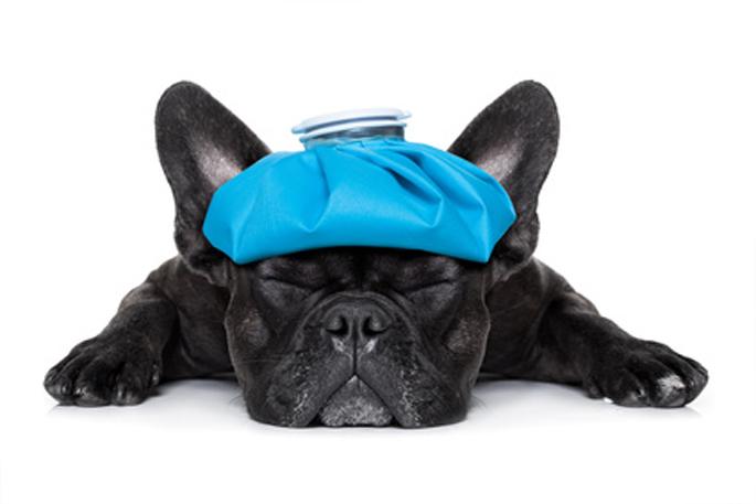 prise de température chien et chat